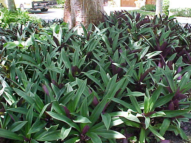 Florida Shade Ground Cover Plants